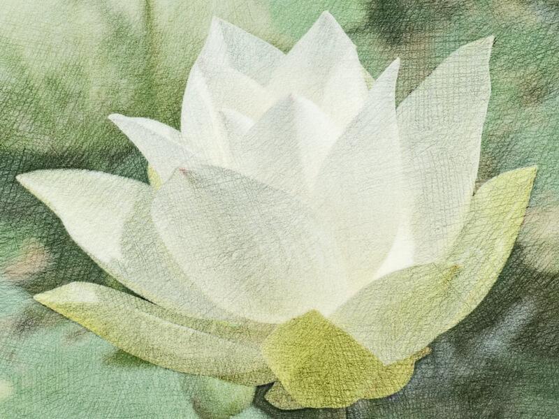 Lotus Flower color pencil